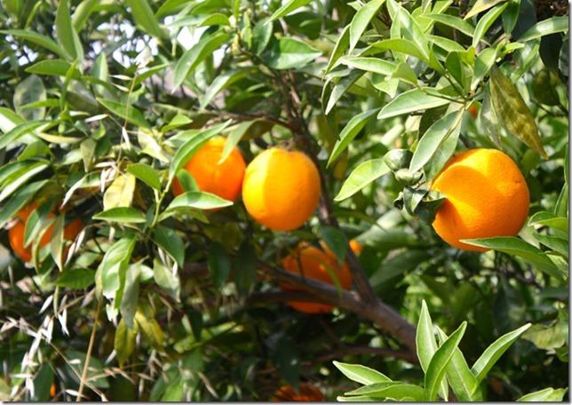 citrusricus_orangen