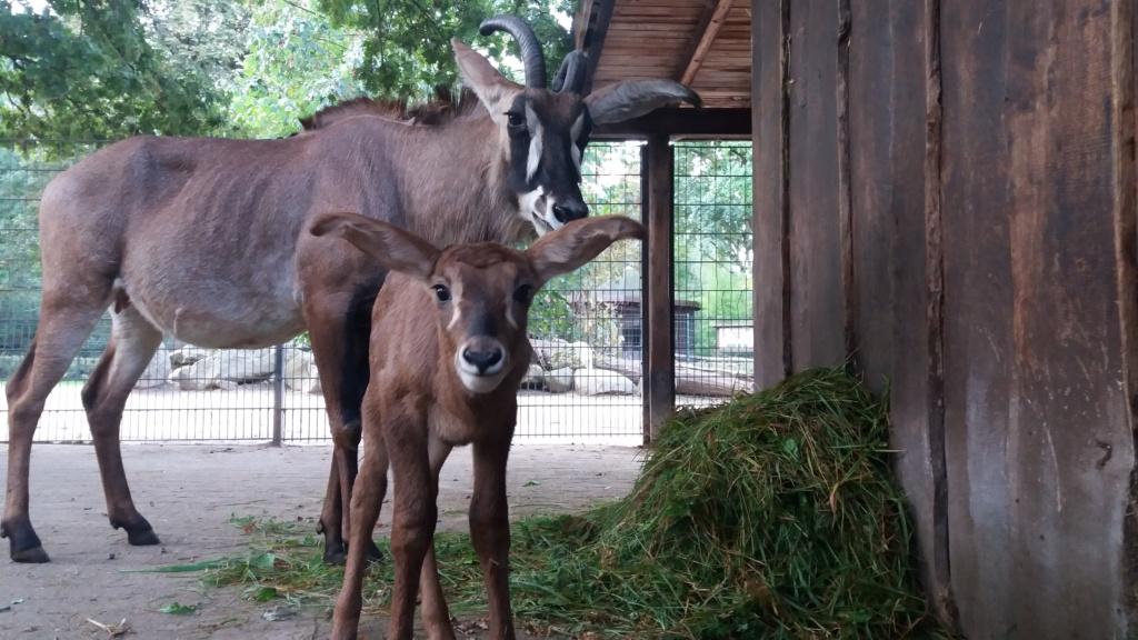 Pferdeantilope-Fohlen und Mutter Maja